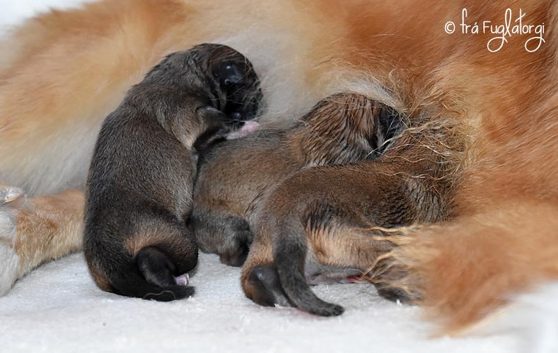 Pups Sunna Sámur week 1