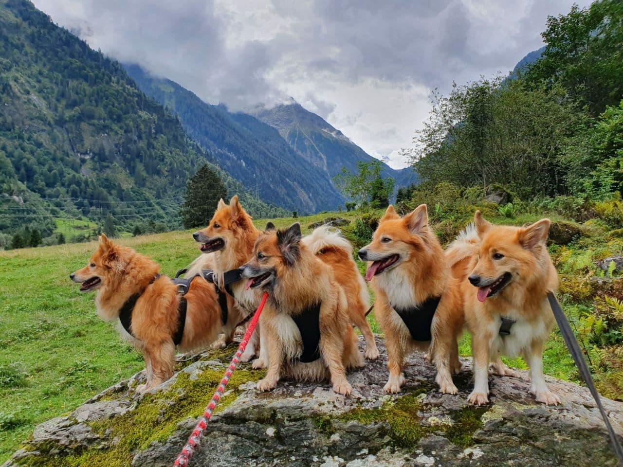 frá Fuglatorgi - IJslandse Honden